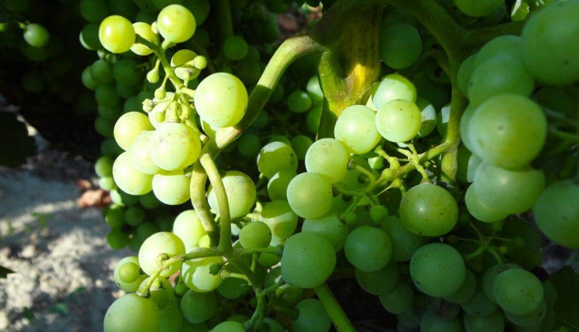 Fitkondi szőlő, bor, pincészet